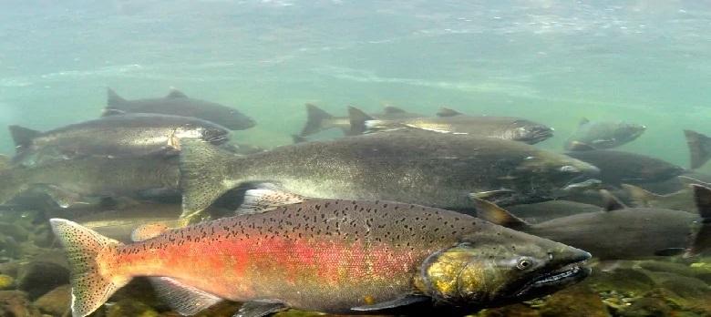 earp's seafood salmon