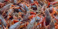 Crawfish - Live