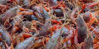 Crawfish - Live