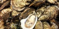 Oysters - Shell